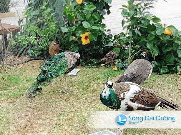 Chim Công - Vườn Chim Nhiệt Đới FLC Sầm Sơn